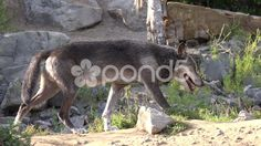 4k Eastern Timber Wolf closeup low angle in rocky hills landscape - Stock Footage | by Beckhusen