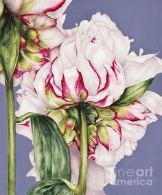 Watercolour Peony Painting by Marie Burke