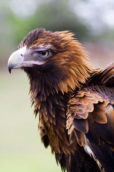Wedge-tailed eagle - Australia's largest bird of prey