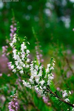 Valkoinen kanerva - valkoinen kanerva harvinainen luonnonoikku poikkeava metsä puuvartinen kasvi