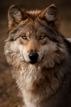 The Staredown - Mexican Gray Wolf - Photography by Scott Denny Wolf Photos, Wolf Pictures, Animal Pictures, Wolf Spirit, My Spirit Animal, Beautiful Creatures, Animals Beautiful, Tier Wolf, Animals And Pets