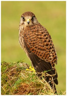Kestrel (c) - A captive Kestrel photographed at the Mid Wales Falconry Centre near Welshpool, Wales UK