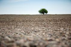 Redland's loneliest tree