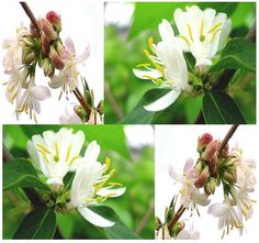 Winter Honeysuckle Bush Seed Fragrant by ALLooABOUTooSEEDS on Etsy