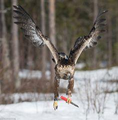 PsBattle: Knife-wielding Golden Eagle