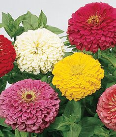 I want this variety it's giant and so much more bang for the buck!!! Don't order dwarf.