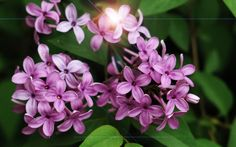 New Hampshire - Lilac