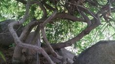 Japanese maple trunk Lakeridge Gardens, adrian mi