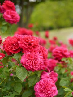 Rose, L.D.Braithwaite, バラ, L.D. ブレスウェイトゥ, | by T.Kiya