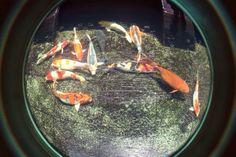 Little koi fish..
