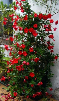 Crimson Mandevilla. Also looks nice in white. Blog suggests planting in pot with iron cone trellis. Annual, needs shade.
