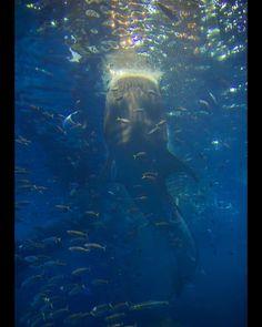 Whale Shark (Rhincodon Typus) #WhaleShark #shark #whale #swimming
