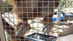 Even primates use Tinder nowAn orangutan works with an iPad during a previous experiment at Jungle Island in Miami. Image:  J Pat Carter/AP/REX/Shutterstock  By Cassie Murdoch2017-01-31 21:52:16 UTC  Swiping has become such a pervasive way of finding love that even primates are doing it now.  Its all part of a four-year project in the Netherlands dubbed Tinder for orangutans.  Scientists at the Apenhaul primate park will soon have an 11-year-old female orangutan named Samboja swipe through a…