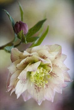 A touch of spring  Helleborus x hybridus - double form by Jacky Parker