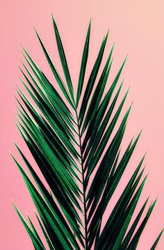 mid century california pastel art print Pink Palm, original photograph art print is part of Palm Tree Art Print Photography Mid Century California Or contact me for a custom canvas or framing ord - Tree Wallpaper Iphone, Summer Wallpaper, Palm Tree Art, Palm Trees, Vintage Photography, Art Photography, Travel Photography, Pink Iphone, Tropical Art