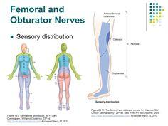 Femoral and obturator nerve sensory distribution