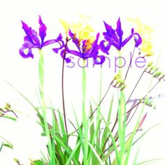 Iris and Freesia botanical photography fresh by MariaZambrunoPhoto, €5.00