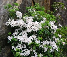 Kalmia latifolia (Mountain Laurel) - Tall evergreen shrub or small tree, 10'-30' ft tall, very similar to rhododendrons in appearance and requirements.  Native to New England with many cultivars in a wide range of colours from white to dark red flowers.  Hardy everywhere except northern mountains.