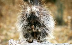 baby porcupine animal pictures   download baby porcupine exotic animals hd wallpaper in high resolution ...