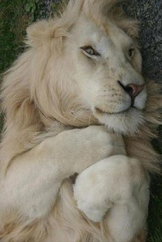 White Lion~National Geographic - photographer Toni Tanner ¡Que cara de felicidad!