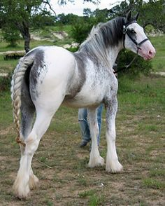 Silver Gender:Male Breed: Gypsy Vanner, he's a gentle and sweet horse who is very loving to foals. All The Pretty Horses, Beautiful Horses, Animals Beautiful, Cute Animals, Draft Horse Breeds, Draft Horses, Big Horses, Horse Love, Black Horses