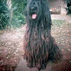 bergamasco shepherd dog photo   - Dog, Dogs, Dog social network, Dog care, Dog adoption, Dog ...