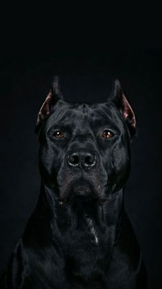 Cane Corso. Dogs. Pups. Puppies. Pets. Mans best friend. K9 Animal lover thats me..