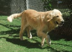 This is Curtis  approx. 6-8 yrs. He was picked up as a stray & was emaciated & extremely matted. He is putting on weight, has been neutered, is current on vaccinations, potty trained, walks well on leash & is good with dogs & kids. He is being treated for heart worms. Curtis is a sweet, gentle boy looking for a forever home & is at Memphis Area Golden Retriever Rescue, TN.