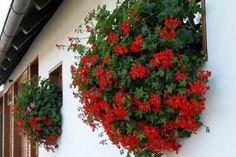 Pelargonium peltatum Flower Names, Annual Plants, Christmas Wreaths, Holiday Decor, Flowers, Design, Windows, Interiors, Plant