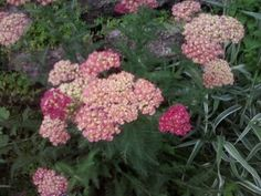 Yarrow Available in a variety of colors, Yarrow has ferny green or silver foliage that is clumping in habit. Growing from 16 to 40 inches, it favors dry sunny spots. The flat clustered flower heads that appear in late spring are excellent for cutting and/or drying. Butterflies love this fast-grower!