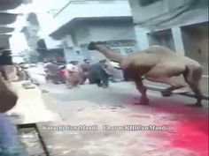 Extremely Dangerous Camel Qurbani at Eid al Adha 1 - Camel Run after Qur...