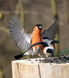 Small Birds, Little Birds, Colorful Birds, Pretty Birds, Love Birds, Beautiful Birds, Bullfinch, Cardinal Birds, Bird Perch