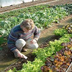 Growing Winter Lettuce