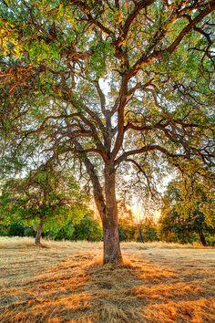 ~~The Veins of an Oak at Sunset - Sutter Creek, California by Axe.Man~~