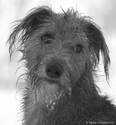 Always wanted one that looked like this so when I heard of some whippet x bedlington terrier puppies I had to have one. And she looks like a complete whippet with a smooth(ish) coat, but I wouldn't change her for the world! Bedlington Whippet, Lurcher, Whippets, Doggies, Dogs And Puppies, Scruffy Dogs, Scottish Deerhound, Animal Magic, Dog Stories