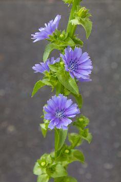 Endivie essbare Blüten