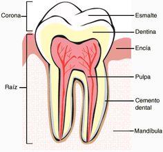 lementos basicos del diente