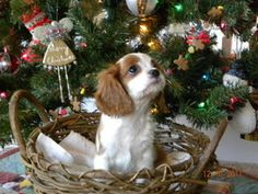 Bell-AdoptionPending is an adopted Cavalier King Charles Spaniel Dog in Avon Lake, OH. 12-15-11 WE ARE NO LONGER ACCEPTING APPLICATONS FOR BELL. THANK YOU FOR YOUR INTEREST. Bell is an adorable Blenhi...