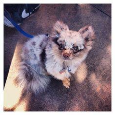 Teacup Pomeranian. Merle brown colors. My sister's doggy Merlin!!  <3