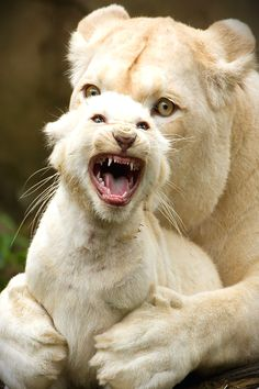 African White lions BY~Karin Vogt