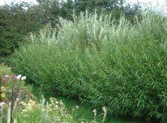 Salix hedge