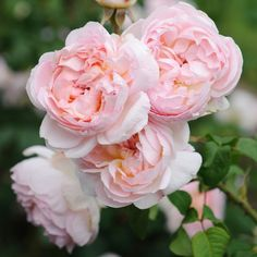 English rose Brother Cadfael | home garden roses sharifa asma ausreef back to garden roses