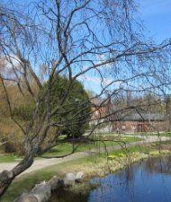 Huurrepaju - Salix daphnoides subsp. acutifolia