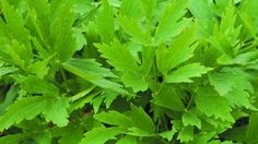 Leaves taste strongly of celery. I use it to flavour soups and stock. Seeds from summer umbels of yellow flowers can be baked into bread and biscuits (like fennel). European Cuisine, Seeds For Sale, Herb Seeds, Replant, Fennel, Yellow Flowers, Celery, Perennials, Roots