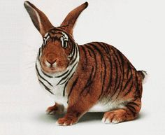 tigerabbit