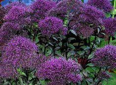 purple trachelium - Google Search