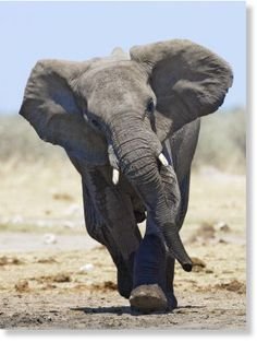 elephant attack - Google Search
