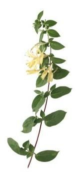 If you plan to root honeysuckle cuttings in water, it is best to use softwood cuttings. Softwood cuttings are taken in the spring from new g...