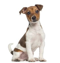 Photo Jack Russell Terrier …