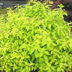 image de Spiraea japonica Gold Mound